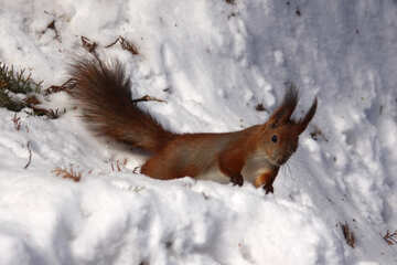 Red squirrel in the winter №4140