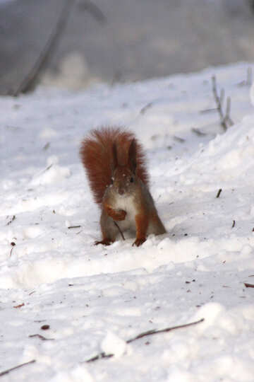 The squirrel sits in snow №4144