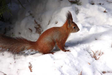 Squirrel sitting in the snow №4141