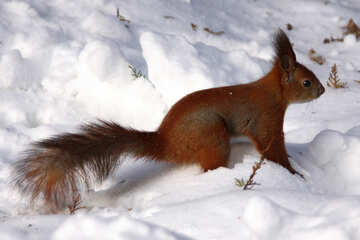 Squirrel snow №4137