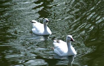 Swans №4615