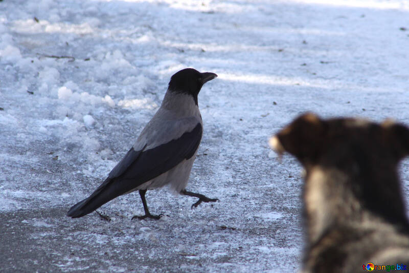 Crow walks with an air of importance №4272