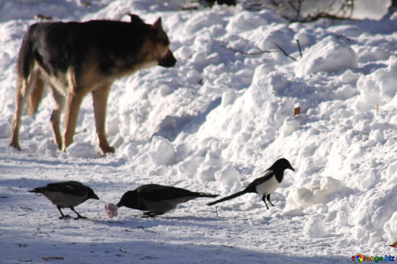 Stray  dog  and  Ravens №4271