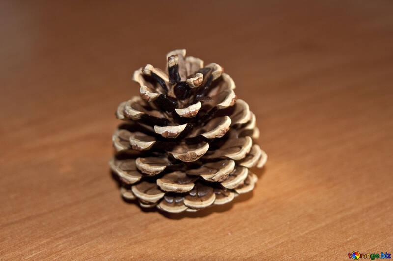 Conifer cone pines №4477