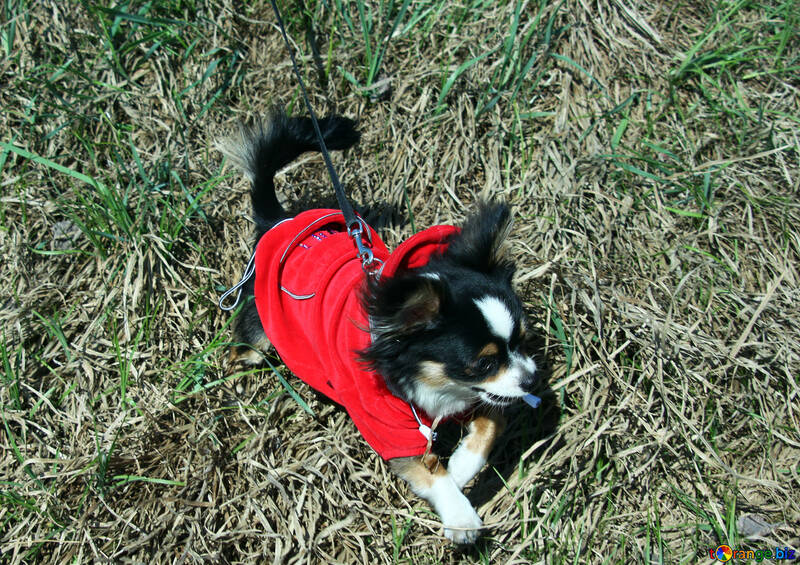 Long-haired Chihuahua in red jacket №4739