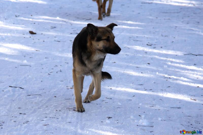 Mongrel like shepherd №4052