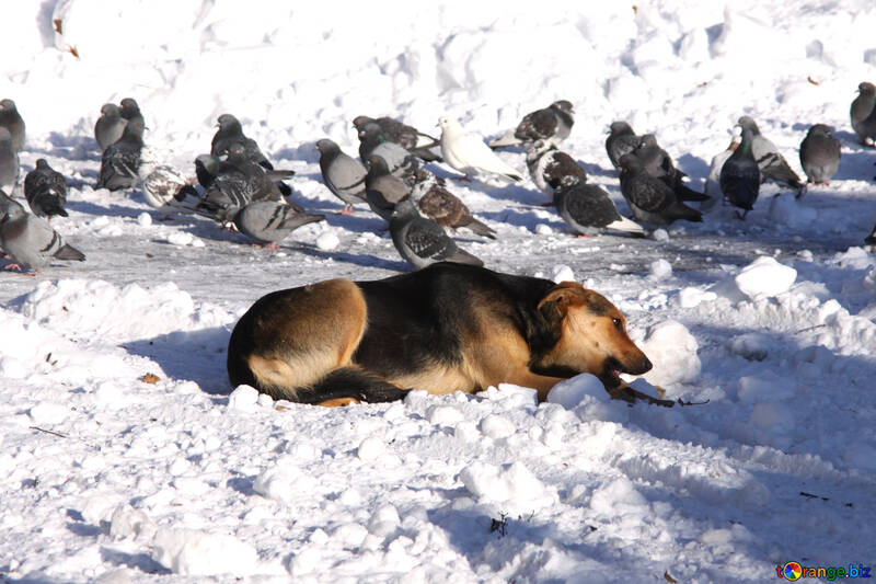 Mongrel and pigeons №4050