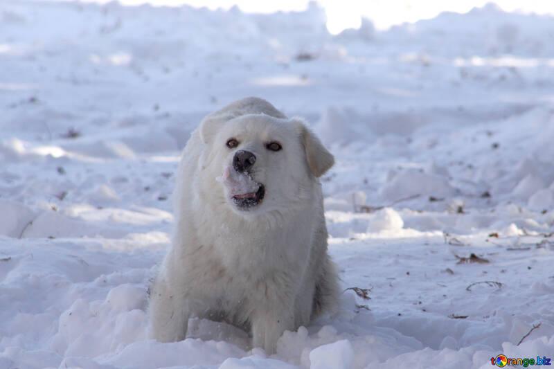 White mongrel eats snow №4042