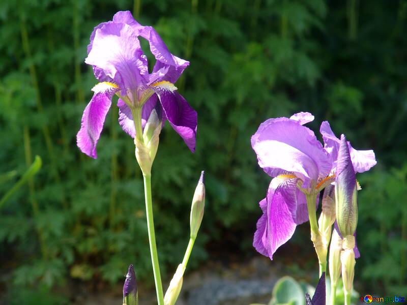 Flowers: Petushki №4104