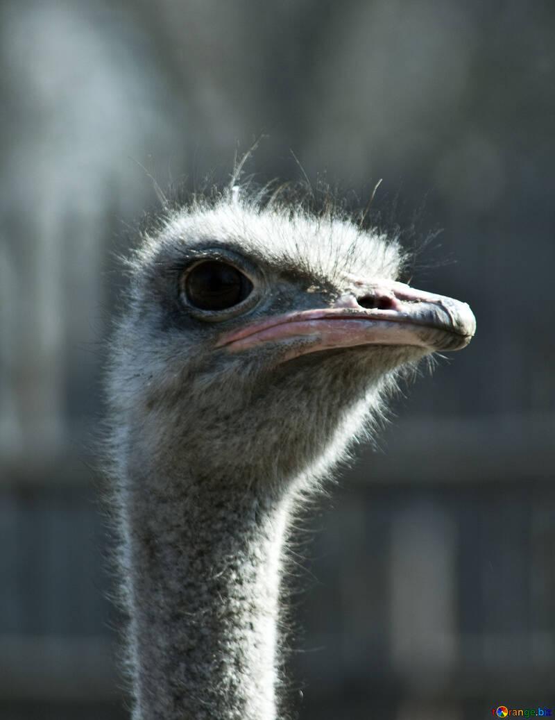 Ostrich №4623