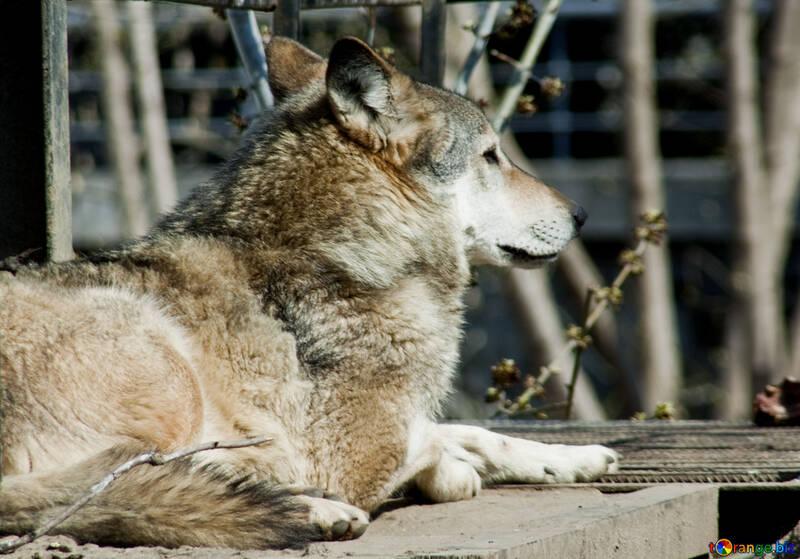 Grey Wolf №4565