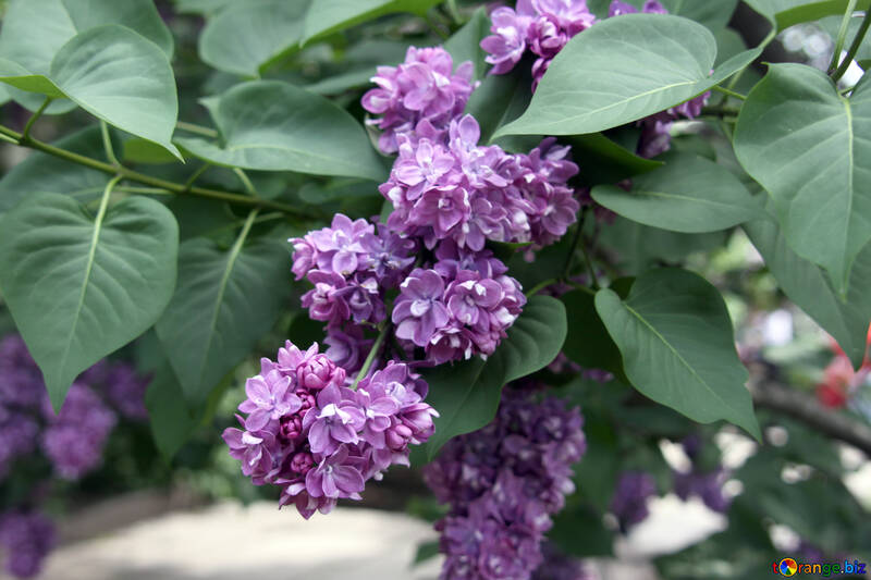 Lilac flowers №4832