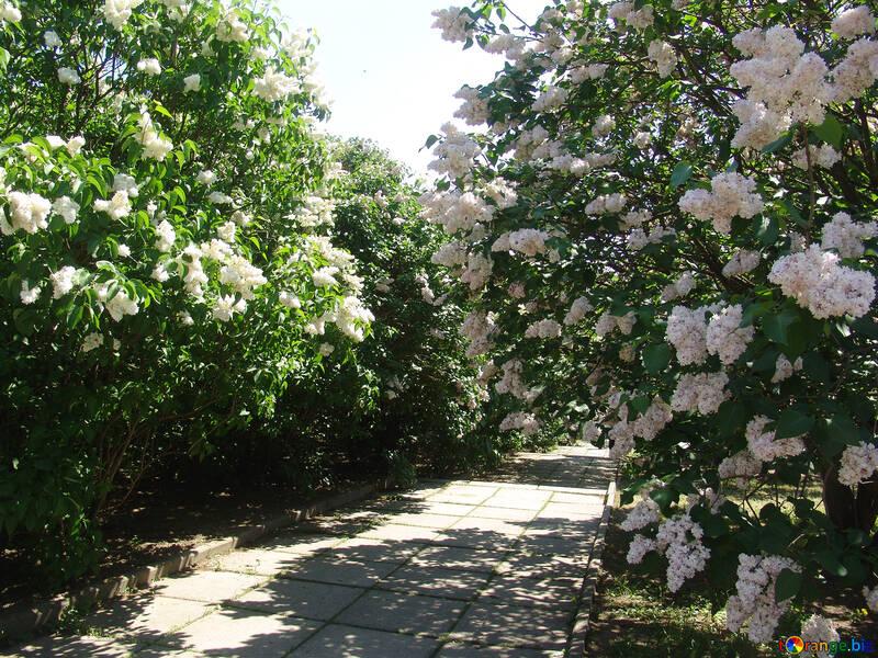 Lilacs in the botanical garden №4091