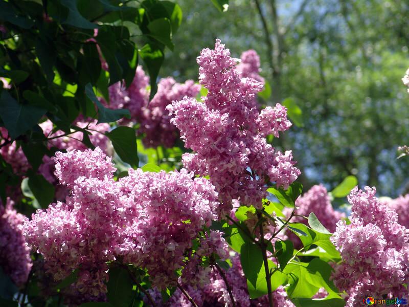 Blooming lilacs №4100