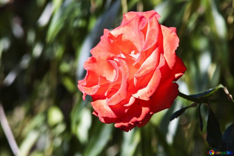 Rosa su un cespuglio №4213