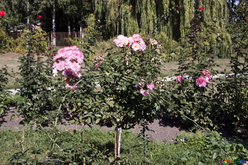 Розовые кусты перед домом №4224
