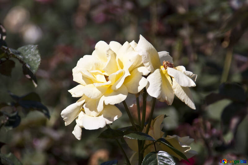 Wild Rose №4202