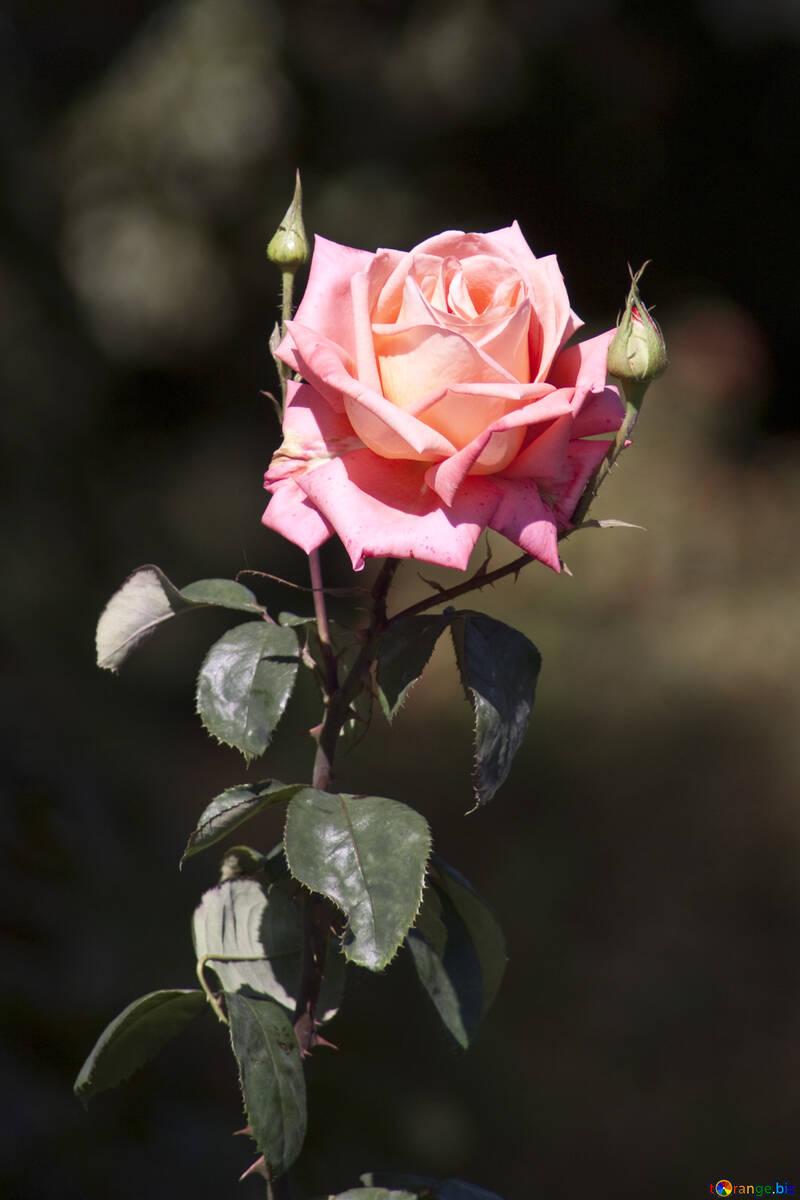 Rose dans bois №4226
