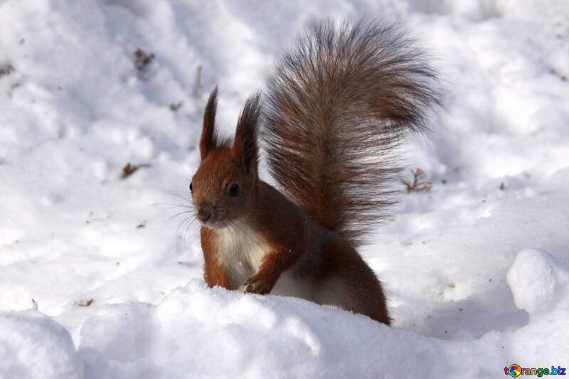Squirrel with fluffy tail №4134