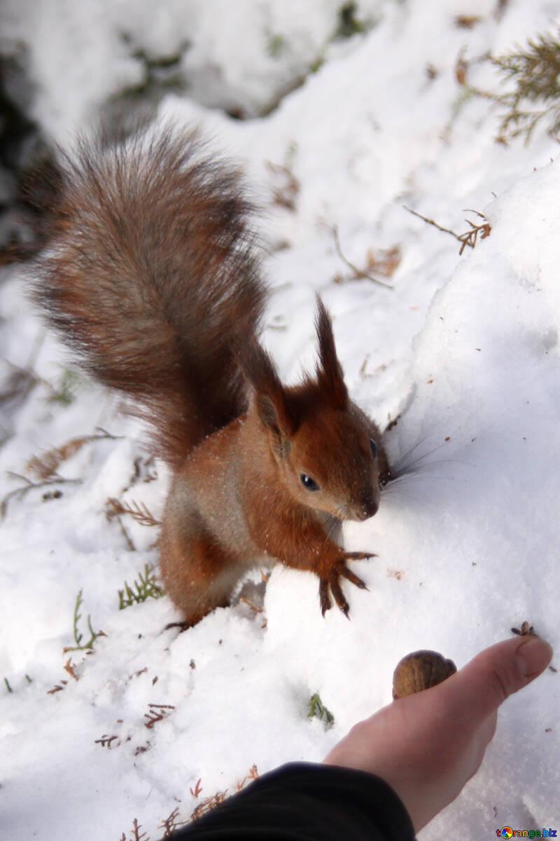 Eichhörnchen Nuss Nehmen Hand №4133