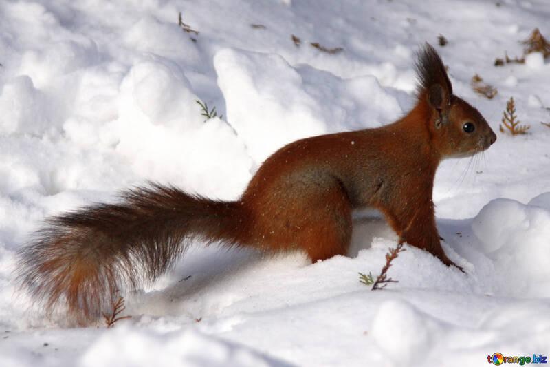 Eichhörnchen Schnee №4137