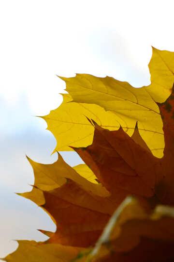 Autumn leaves №40877
