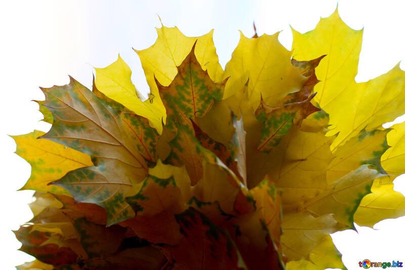 Autumn leaves isolated №40880