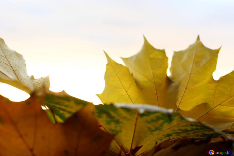 Leaves №40882