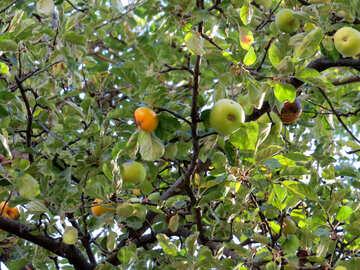 Baum Apfelbaum №41143