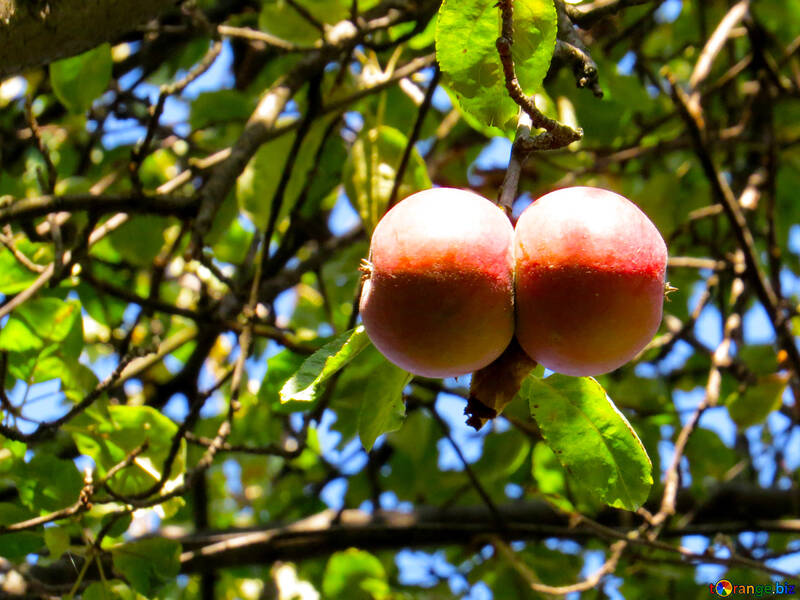 Two apples №41154