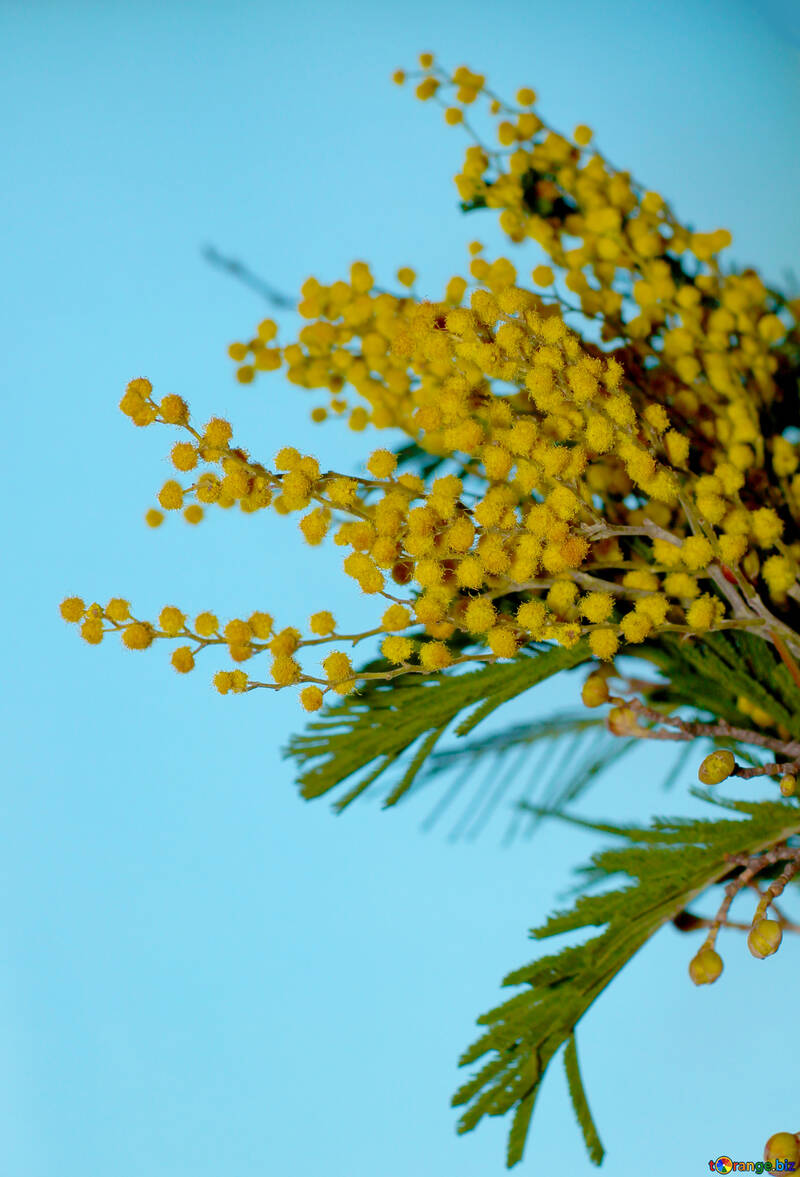Mimosa flor №41374