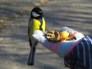Titmouse eating with hands №42639