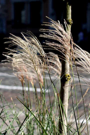 Decorative grasses №42021