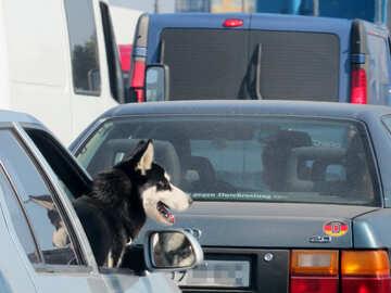 Dog in car window №42495