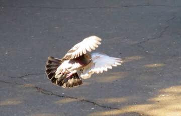 Pigeon flies