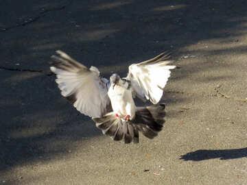 Pigeon flies №42208