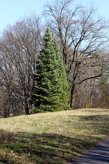 Evergreen tree №42529