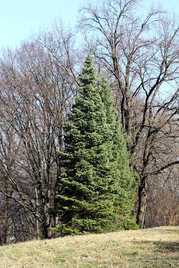 Large coniferous tree №42530
