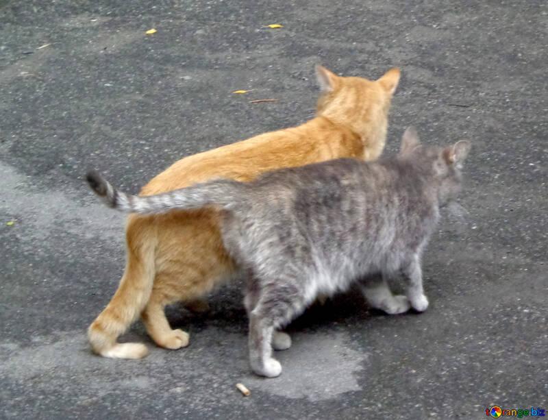 Couple Cat №42996