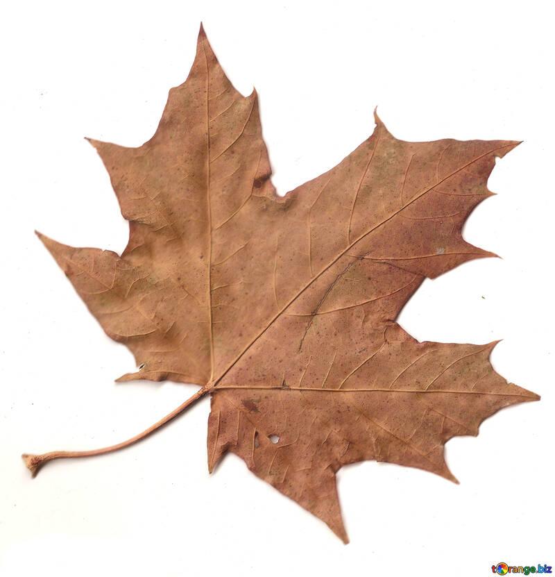 Dry leaf №42671
