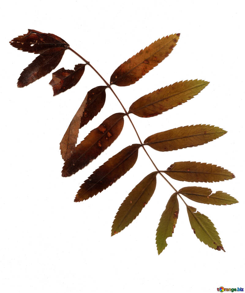 Dry leaves of a mountain ash №42664