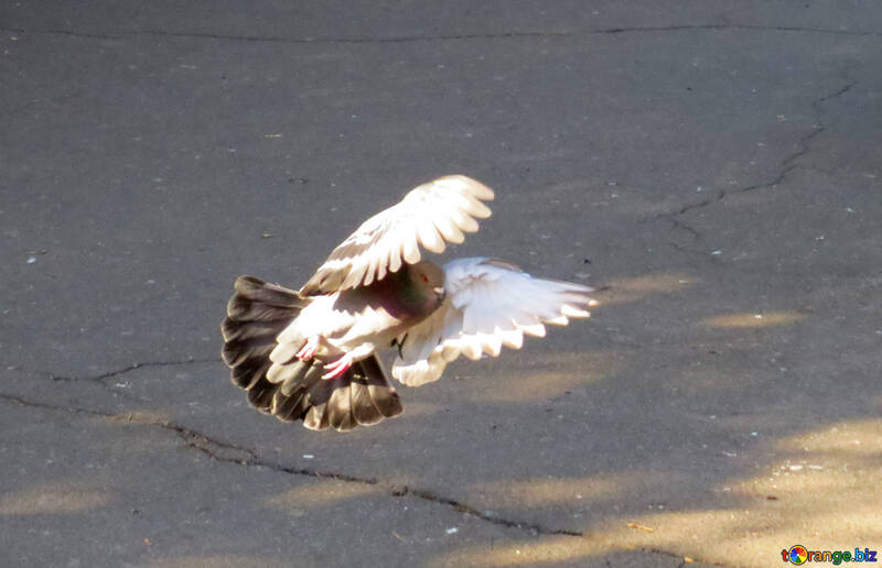 Pigeon flies №42207