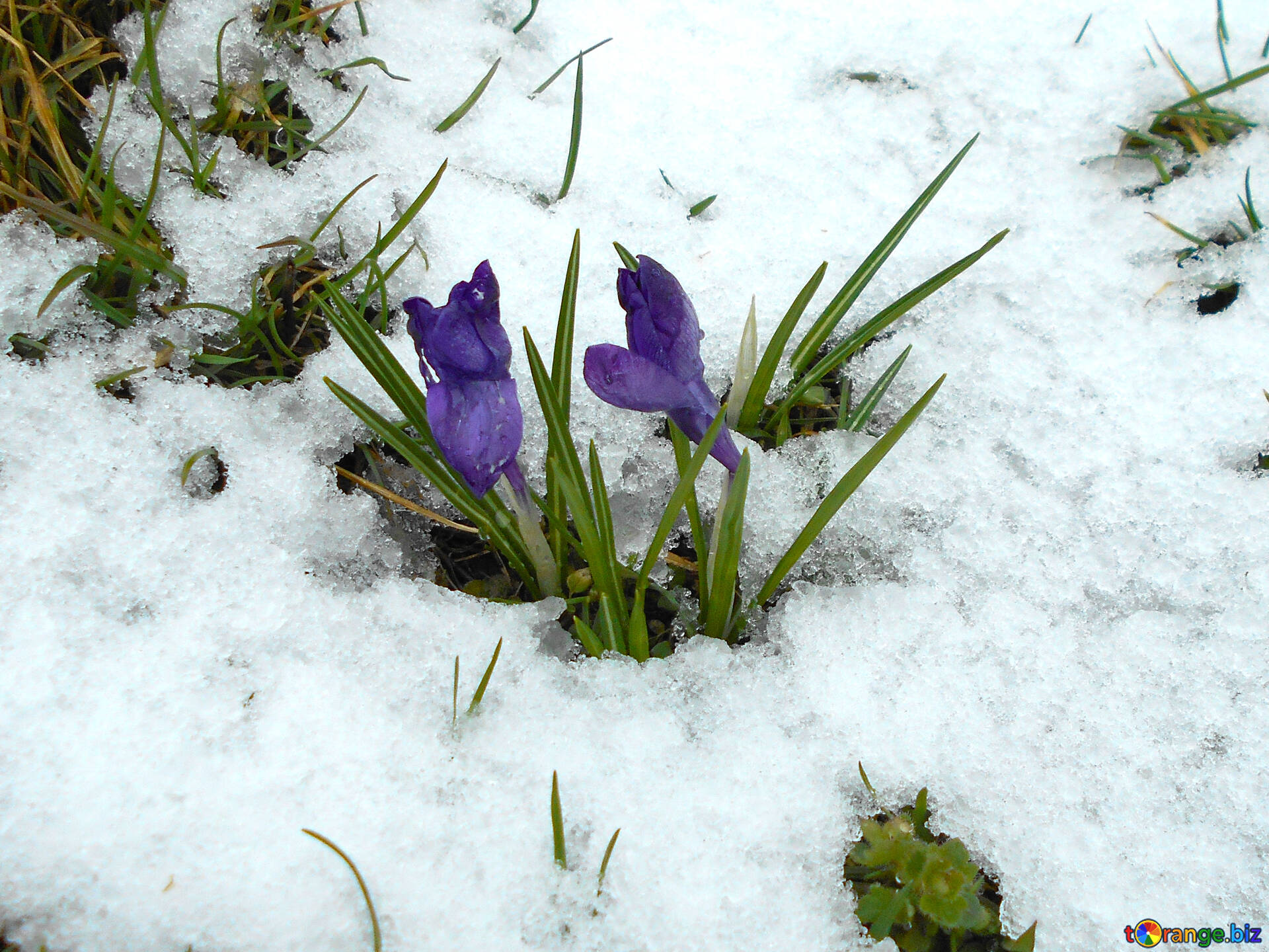 Flowers Crocuses Crocuses In The Snow Spring 43092
