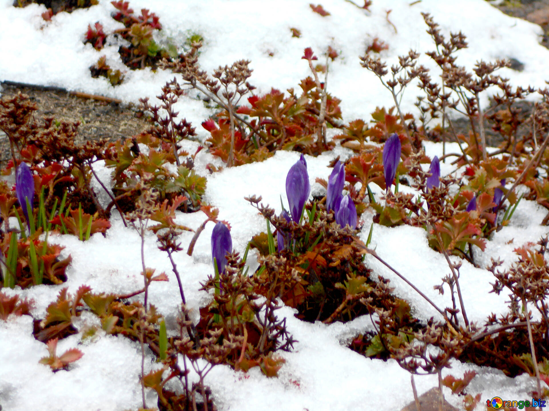 Flowers Crocuses Spring Flowers In The Snow Spring 43102