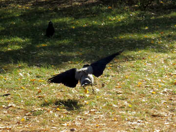 Crow flies above the grass №43211