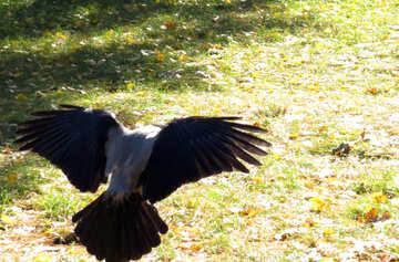 Wings ravens №43204