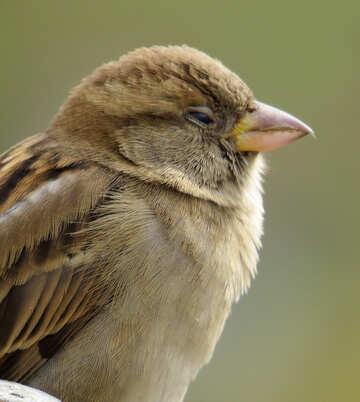 Bird sparrow sleeps №43224