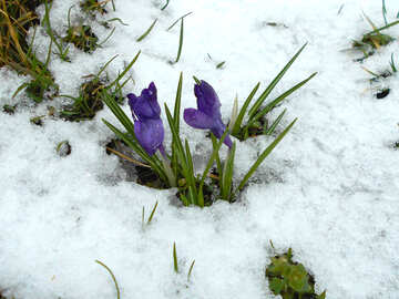 Crocuses in the snow №43092