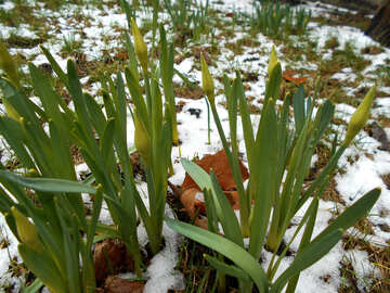 The first daffodils in snow №43088