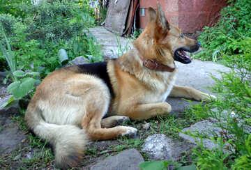 Shepherd Dog №43019